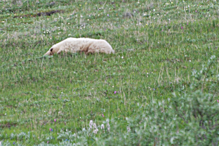Snoozing Grizzly Bear