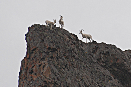 More Dall Sheep